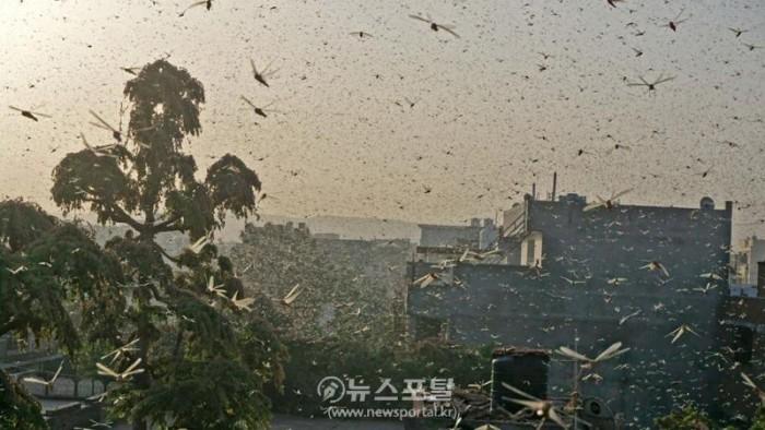 이도메뚜기떼 하늘 뒤덮어.jpg