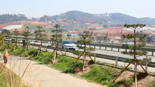 태안군,국도32호선 '소나무 명품가로숲'조성 '한창'
