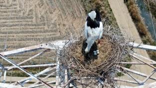 멸종위기 1급 천연기념물 '황새', 태안에 둥지