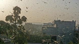 인도 델리 '27년 만에 메뚜기 떼 습격' 수난