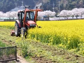삼척시,유채꽃밭 5만여㎡ 트랙터로 갈아엎어