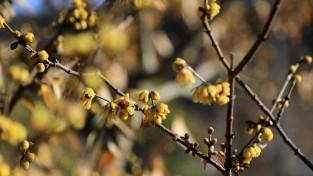 【포토】천리포수목원, 봄의 전령사 납매 활짝