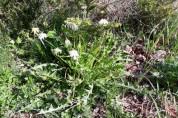 토종 하얀민들레,여러가지 질병에 탁월한 효과