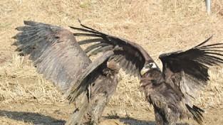 【포토】 서산 천수만서 월동하는 독수리 형제