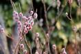【포토】천리포수목원에 핑크빛 버들강아지 활짝