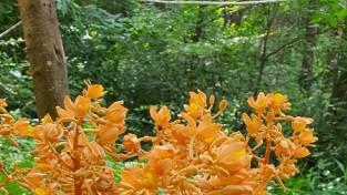 안면도서 멸종위기 희귀식물 으름난초 꽃 '만개'