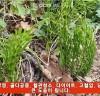 쇠뜨기,이뇨작용과 고혈압에 좋은 야생초