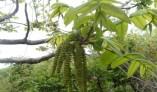 가래나무(楸子木), 폐질환의 대표적인 치료약