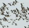 겨울의 진객 가창오리, 천수만서 힘찬 날갯짓