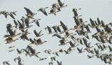 겨울의 진객 철새무리, 천수만서 힘찬 날갯짓