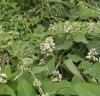 박주가리,자양·강장 효과가 가장 뛰어난 산야초