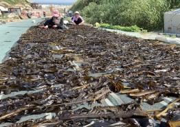 【포토】태안, 가의도 섬 주민 자연산 돌미역 수확 한창