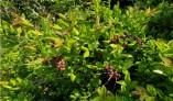 상동나무 추출물,암 세포 생장 억제효과 탁월