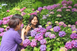 【포토】 천리포수목원,여름 꽃 수국 활짝 관람객 유혹