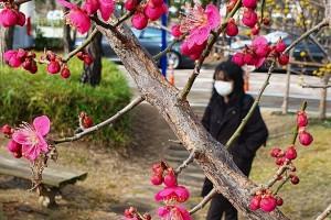 【포토】 대전지방청 산책로에 홍매화 활짝