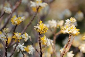 【포토】천리포수목원에 삼지닥나무 꽃 활짝