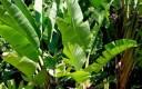 바나나 잎의 효능 혈당조절 비만예방 탁월