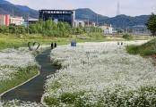 서산 용장천변에 하얀꽃'샤스타데이지'만개