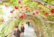 단양은 지금 '장미 꽃대궐'