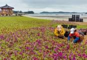 태안 영목항 수변공원 터 '여름 꽃 활짝'